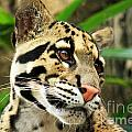 Clouded Leopard Face by Terri Mills