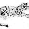 Clouded Leopard by Kurt Tessmann