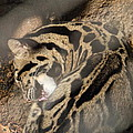 Clouded Leopard - National Zoo - 01134 by DC Photographer