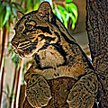 Clouded Leopard by Steve Harrington