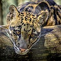 Clouded Leopard by Steven Sparks