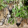 Clouded Leopards by Brian Jannsen