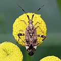 Clouded Plant Bug On Tansy by Doris Potter
