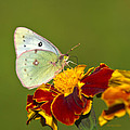 Clouded Sulphur Butterfly by Christina Rollo