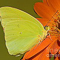 Cloudless Sulphur Butterfly by Millard H. Sharp