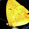 Cloudless Sulphur Butterfly by Optical Playground By MP Ray