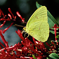 Cloudless Sulphur Butterfly by Sally Mccrae Kuyper/science Photo Library