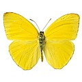 Cloudless Sulphur Butterfly by Science Photo Library