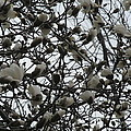 Cloudy Day For Young Magnolias by Tina M Wenger