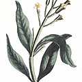Clove Eugenia Aromatica by Anonymous