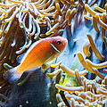 Clown Fish - Anemonefish Swimming Along A Large Anemone Amphiprion by Jamie Pham
