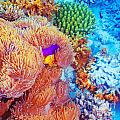 Clown Fish Swimming Near Colorful Corals by Anna Om