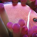 Clownfish 2 by Dawn Eshelman