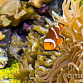 Clownfish by Kate Brown