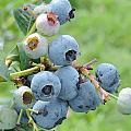 Clump Of Blueberries by Cityscape Photography