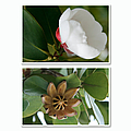 Clusia Rosea - Clusia Major - Autograph Tree - Maui Hawaii by Sharon Mau