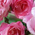 Cluster Of Pink by Christiane Schulze Art And Photography
