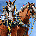 Clydesdale Duo by Debbie Hart
