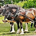 Clydesdale Horses by Kim Bemis
