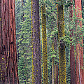 Coast Redwoods In Mariposa Grove by Tim Fitzharris