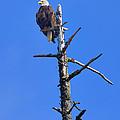 Coastal Bald Eagle by Greg Norrell