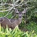 Coastal Deer by Barbara Snyder
