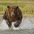 Coastal Grizzly Boar Fishing by Kent Fredriksson