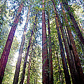 Coastal Redwoods Reach For The Sky In Armstrong Redwoods State Preserve Near Guerneville-ca by Ruth Hager