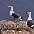 Coastal Seagulls by Melinda Ledsome