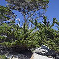 Coastal Trees In California's Point Lobos State Natural Reserve by Bruce Gourley