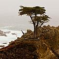Coastline Cypress by Melinda Ledsome