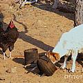 Cock N Goat by Noa Yerushalmi