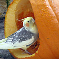 Cockatiel - Glutton by Pamela Critchlow