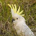 Cockatoo Portrait  by Bob Phillips