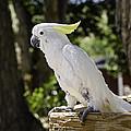 Cockatoo White Parrot by LeeAnn McLaneGoetz McLaneGoetzStudioLLCcom