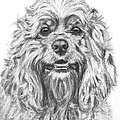 Cocker Spaniel Detail by Kate Sumners