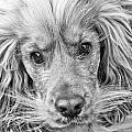 Cocker Spaniel Dog Black And White by Brch Photography
