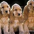 Cocker Spaniel Puppies by Jean-Michel Labat