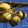 Coconut 1 by Teresa Zieba