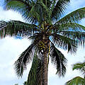 Coconut Palm Tree by Karon Melillo DeVega