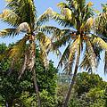 Coconut Palm Trees In Key West by John M Bailey