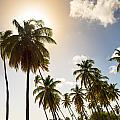 Coconut Trees by Ferry Zievinger