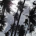 Coconut Trees In Barbados by Andwele Earle