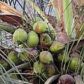 Coconuts by E Faithe Lester