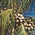 Coconuts by Timothy Hacker