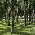 Coconuts Trees In A Row by Sami Sarkis