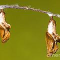 Cocooned Gulf Fritillary Butterflies by Millard H. Sharp