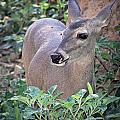 Coes Deer Doe by Elaine Malott
