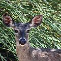 Coes Deer by Elaine Malott