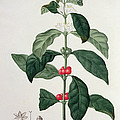 Coffea Arabica From Phytographie by L.F.J. Hoquart